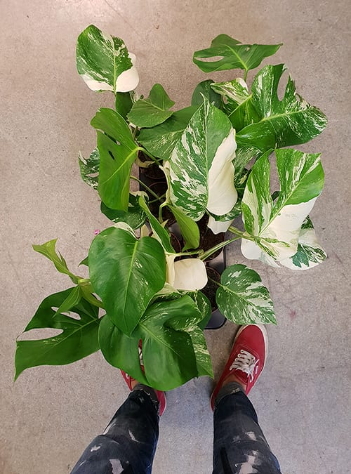 Monstera Variegata